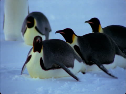 emperor penguins toboggan across a snowfield. - sledge stock videos & royalty-free footage