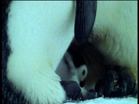emperor penguins transfer chick between them across ice, antarctica - babyhood stock videos & royalty-free footage