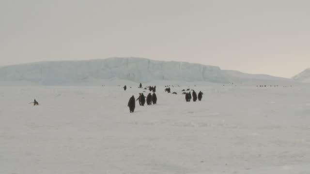 emperor penguins (aptenodytes forsteri) waddling across ice toward colony, cape washington, antarctica - waddling stock videos & royalty-free footage
