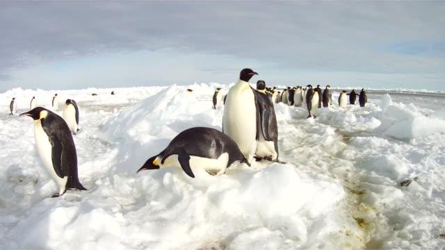 emperor penguins (aptenodytes forsteri) waddling across sea ice, cape washington, antarctica - cape washington stock videos & royalty-free footage
