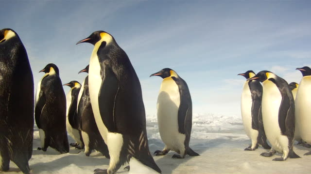 stockvideo's en b-roll-footage met emperor penguins (aptenodytes forsteri) waddling across sea ice, tracking, cape washington, antarctica - geel