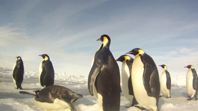 emperor penguins (aptenodytes forsteri) waddling across sea ice, tracking, cape washington, antarctica - cape washington stock videos & royalty-free footage