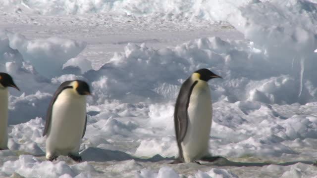 vídeos y material grabado en eventos de stock de emperor penguins (aptenodytes forsteri) waddling across snow and ice, cape washington, antarctica - pingüino