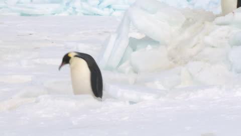 emperor penguins (aptenodytes forsteri) waddling and sliding across ice, cape washington, antarctica - sliding stock videos & royalty-free footage