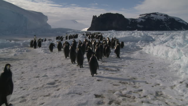 emperor penguins (aptenodytes forsteri) waddling and sliding across ice toward colony, cape washington, antarctica - waddling stock videos and b-roll footage