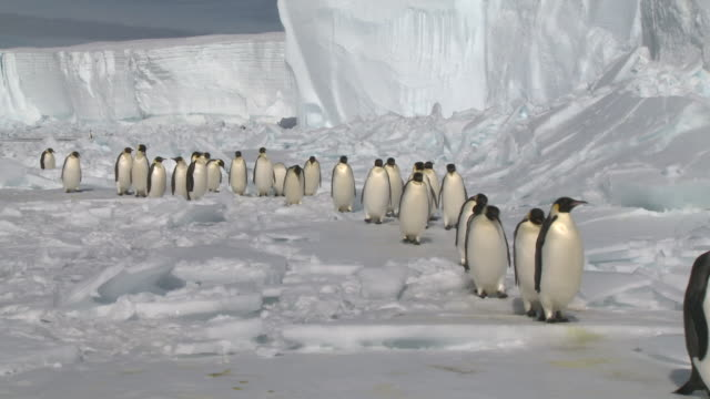Emperor penguins (Aptenodytes forsteri) waddling in long line across ice, Cape Washington, Antarctica