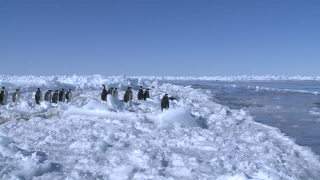 Emperor penguins (Aptenodytes forsteri) waiting at edge of sea ice and entering sea (other group in hole in sea ice in background), Cape Washington, Antarctica