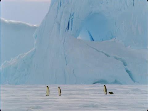 emperor penguins walk over an ice sheet in antarctica. - flightless bird stock videos & royalty-free footage