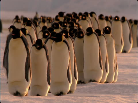 emperor penguins walk over the ice in antarctica. - in a row stock videos & royalty-free footage