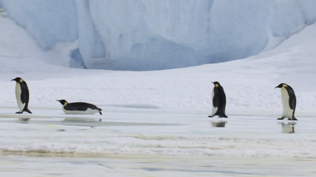 emperor penguins walking past iceberg - rutschen stock-videos und b-roll-filmmaterial