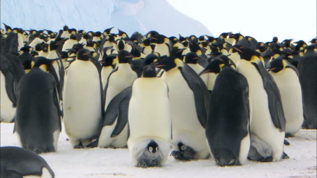 emperor penguins walking with their chicks between their legs - young bird stock videos & royalty-free footage