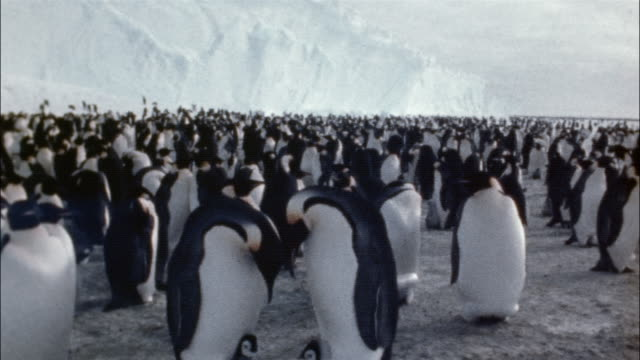 ms, emperor penguins witch chicks on snow, antarctica - large group of animals stock videos & royalty-free footage