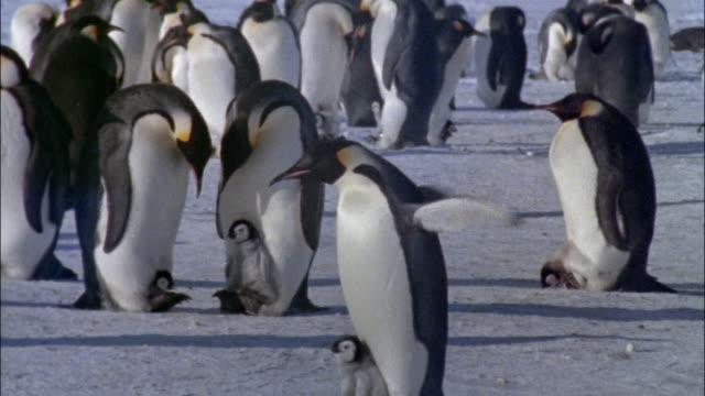 vidéos et rushes de ms, emperor penguins with chicks on snow, antarctica - groupe moyen d'animaux