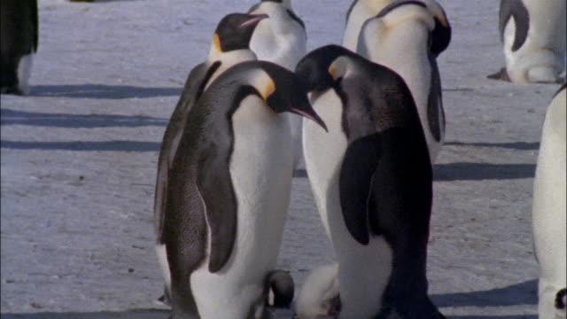 vidéos et rushes de ms, pan, emperor penguins with chicks on snow, antarctica - groupe moyen d'animaux