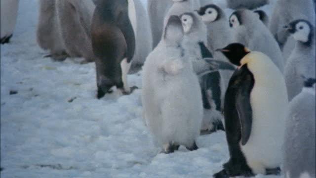 vídeos de stock e filmes b-roll de ms, pan, emperor penguins with chicks on snow, antarctica - pássaro jovem