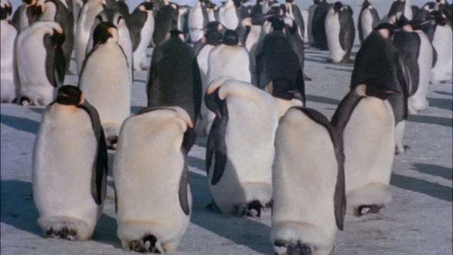 vidéos et rushes de ms, emperor penguins with chicks sleeping on snow, antarctica - groupe moyen d'animaux