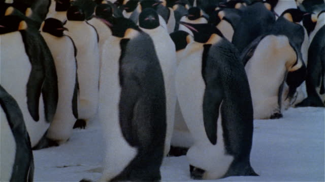 CU, Emperor penguins with new born on feet on snow, Antarctica