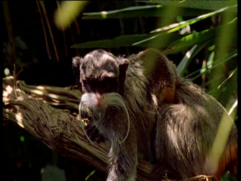 emperor tamarin carries baby on back, south america - babyhood stock videos & royalty-free footage
