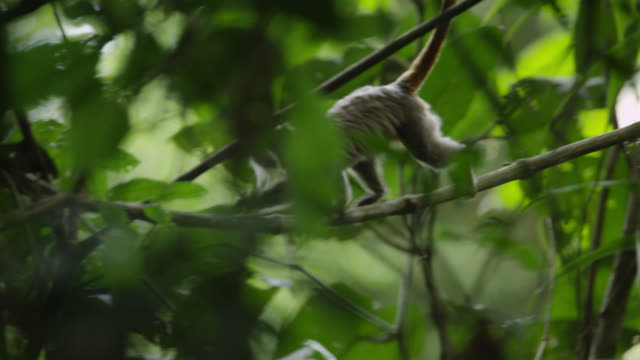 """Emperor tamarin (Saguinus imperator) climbs along branch in forest, Peru"""