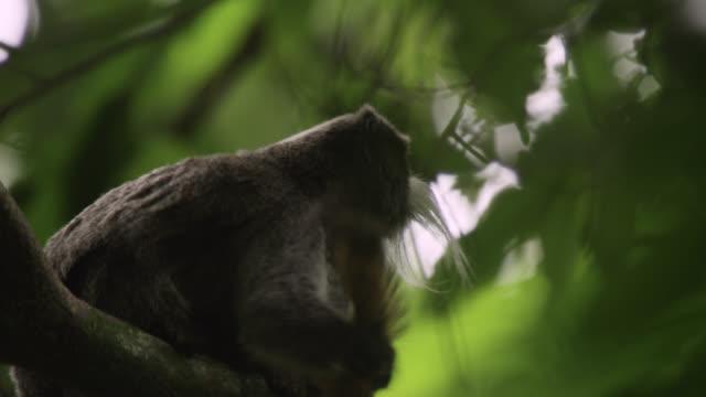 """emperor tamarin (saguinus imperator) grooms tail in forest, peru"" - 皇帝点の映像素材/bロール"