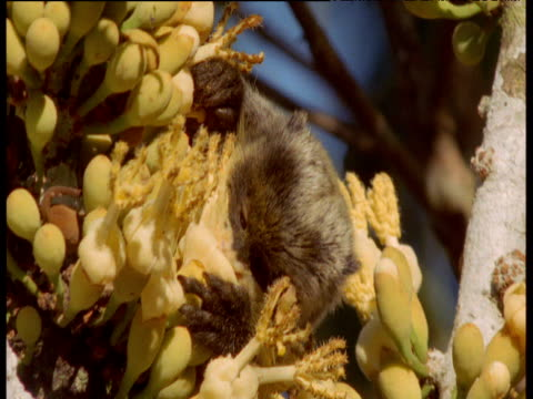 emperor tamarin licks nectar from yellow sapote flowers, manu national park, peru - pollen grain stock videos & royalty-free footage