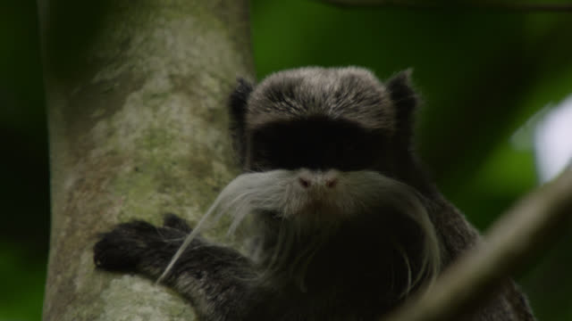 """emperor tamarin (saguinus imperator) looks around and leaps away in forest, peru"" - rainforest stock videos & royalty-free footage"