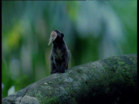 Emperor tamarin on branch, looks around then walks off, Manu National Park, Peru