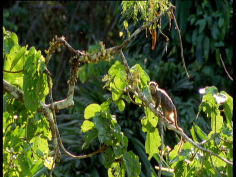 Emperor tamarin runs up branch, looks around then leaps out of shot, Manu National Park, Peru