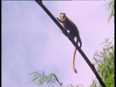 Emperor tamarin walks along branch, Manu National Park, Peru