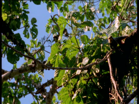 Emperor tamarin walks along vine, Manu National Park, Peru