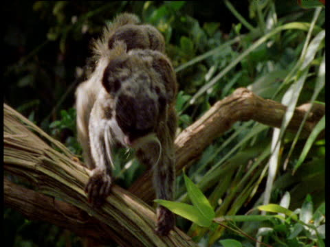 emperor tamarin with two babies on back, sticks tongue out then leaps out of shot, south america - babyhood stock videos & royalty-free footage