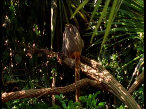 vídeos de stock, filmes e b-roll de emperor tamarins leap in tree, south america - jogo de carniça