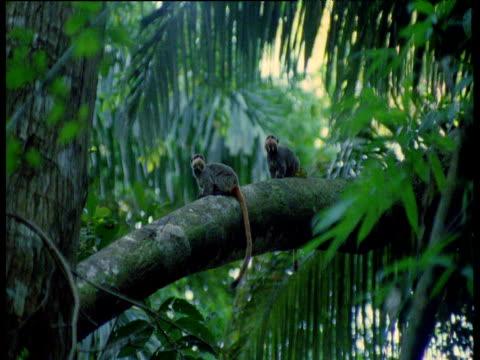 Emperor tamarins scent mark on branch, Manu National Park, Peru