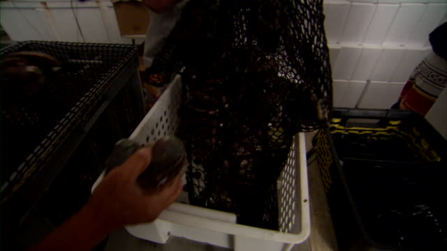 Employee dumping abalone into basket.
