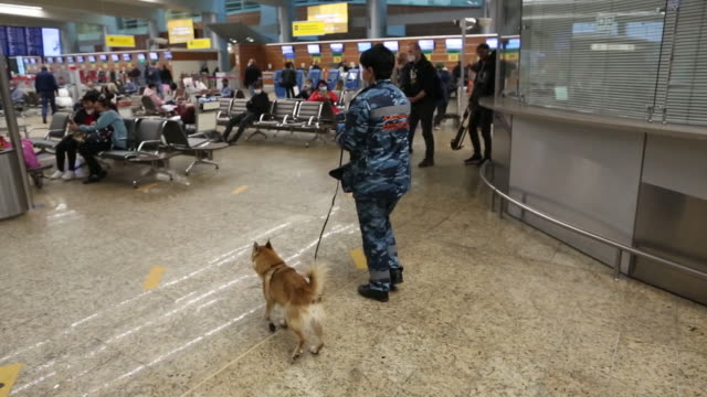 employee handling sniffer dog during an explosive material and covid-19 detection patrol by check-in counters in departures terminal at sheremetyevo... - explosive material stock videos & royalty-free footage