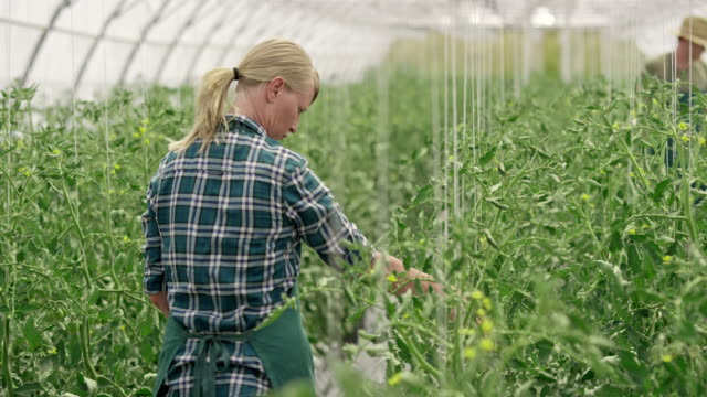 ds employees checking tomatoes in the greenhouse - 40 44 years stock videos & royalty-free footage