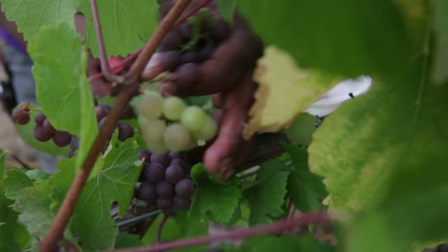 employees harvest pinot gris grapes at goschie farms in silverton oregon farmers use buckets to fill a large basin with grapes close up shots of... - gris stock videos & royalty-free footage