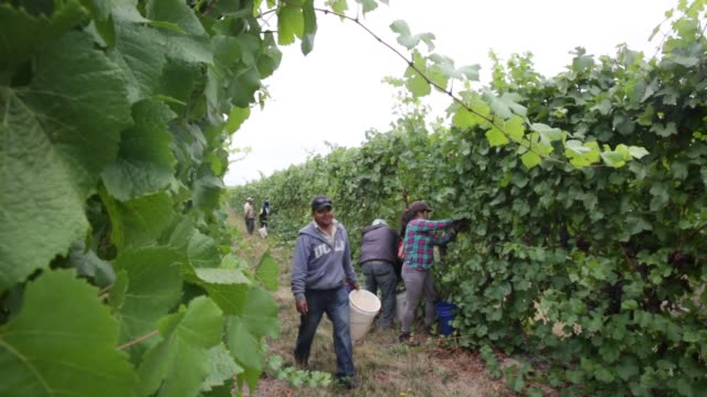 employees harvest pinot gris grapes at goschie farms in silverton oregon farmers use buckets to fill a large basin with grapes - gris stock videos & royalty-free footage