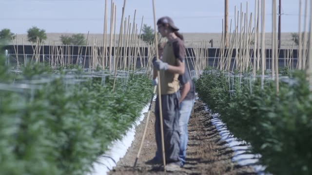 Employees Jason and Michael work under the Colorado sun in a rare outdoor marijuana grow / Pueblo County is one of the only places in Colorado that...