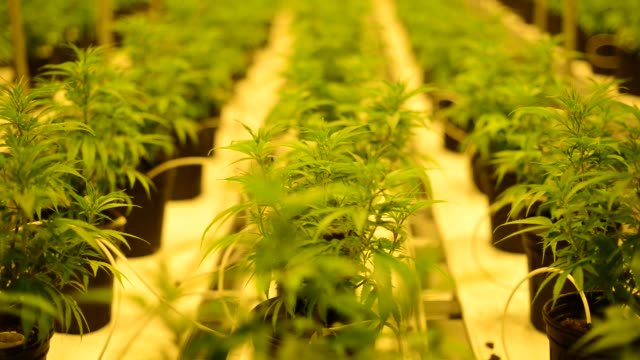 Employees tend to marijuana plants inside the Tweed Inc Medical Marijuana Facility in Smith Falls Ontario Canada on November 11th 2015 Shots Wide...