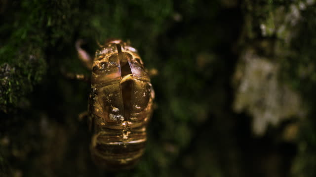 empty cicada shell after molting - scaly stock videos & royalty-free footage