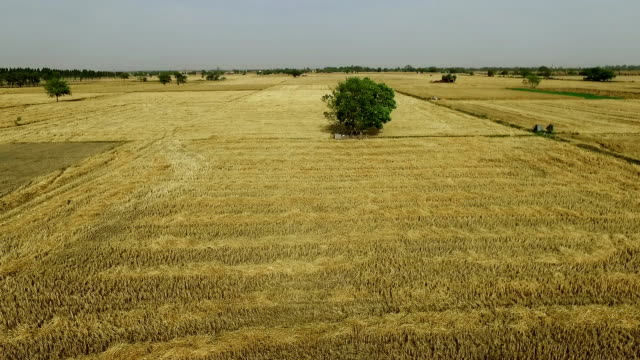 empty field after wheat crop harvesting during summer season. - crop stock videos & royalty-free footage