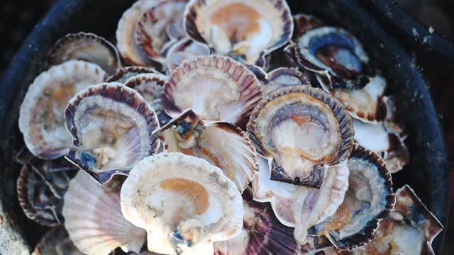 empty fresh scallop shells in a pot in guernsey island - handheld high-angle shot - crustacean stock videos & royalty-free footage