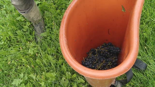 vídeos de stock, filmes e b-roll de hd câmera lenta: esvaziar a cesta cheia de uvas - descarregando
