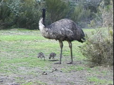 ws emu chick feeding with mother  - small group of animals stock videos & royalty-free footage