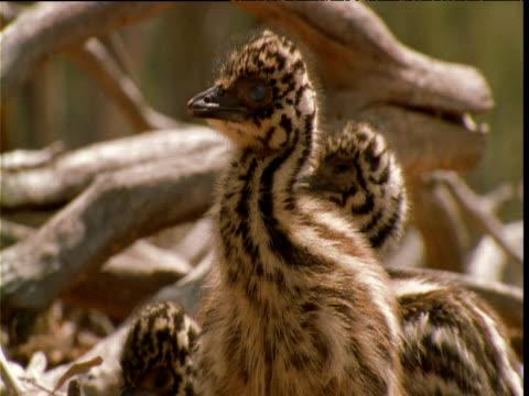 emu chick looks around in nest, victoria, australia - 動物の色点の映像素材/bロール