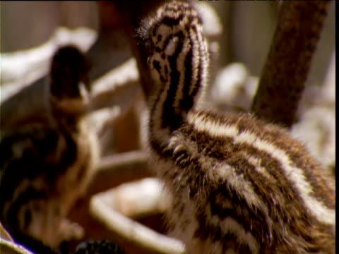 emu chick looks around, victoria, australia - emu stock videos & royalty-free footage