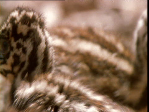 emu chicks looks around, victoria, australia - fluffy stock videos & royalty-free footage