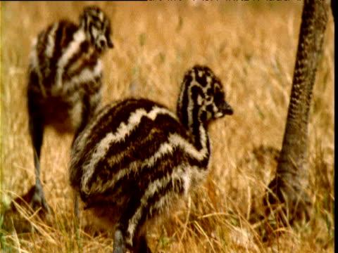 emu chicks wander around their father's feet, victoria, australia - genderblend stock videos & royalty-free footage