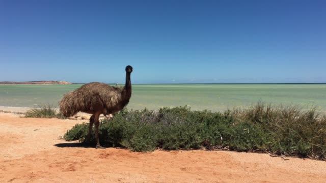 emu eating plants in shark bay western australia - emu stock videos & royalty-free footage